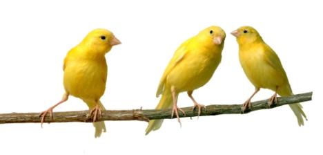 canaries-listening