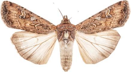 individual-moth