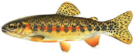 little-kern-golden-trout