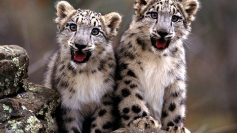 snow-leopard-cubs