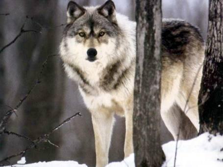 winter-wolf-02
